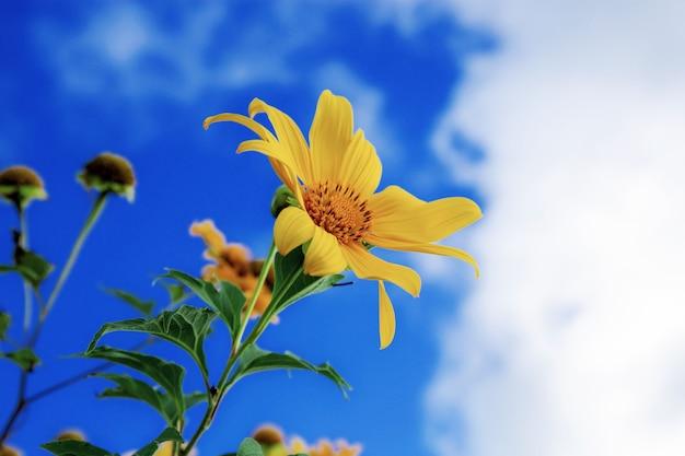 Flor de bua tong no céu azul no inverno da tailândia.