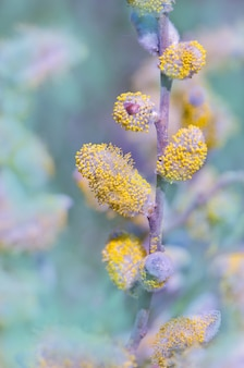 Flor de buceta de salgueiro de primavera