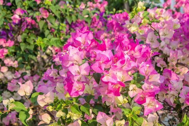 Flor de buganvílias coloridas