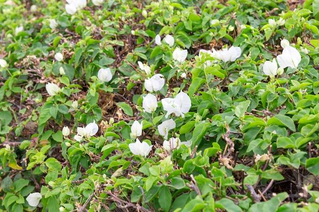 Flor de buganvílias florescência branca no egito close-up