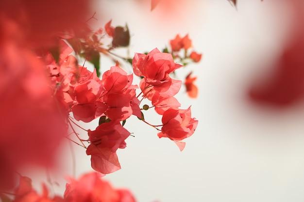 Flor de buganvílias florescendo