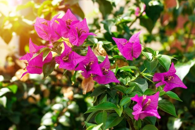 Flor de buganvílias rosa com folha verde na luz do sol