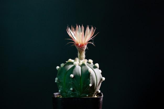 Flor de cacto astrophytum asterias florescendo