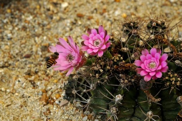 Flor de cacto gymnocalycium e abelha melífera no jardim