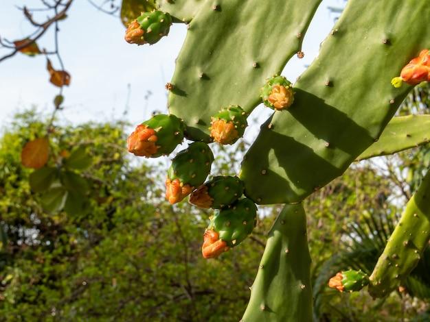 Flor de cacto verde (cactaceae)
