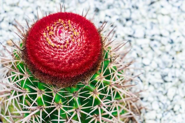 Flor de cacto vermelho florescendo em cima de cacto verde no jardim de rocha