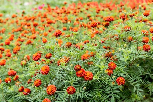 Flor de calêndula africana ou tagetes erecta e óleo em fundo natural.