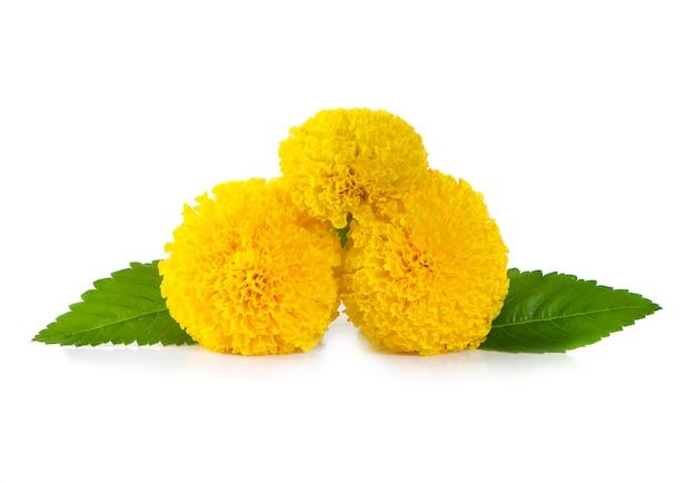 Flor de calêndula amarela, tagetes erecta, calêndula mexicana, calêndula asteca, calêndula africana isolada no branco