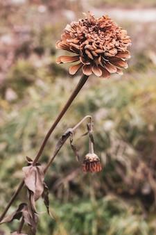 Flor de calêndula após a primeira geada no outono. família aster. tons silenciados. foco seletivo. o fundo está desfocado.