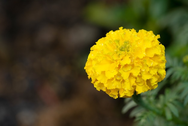 Flor de calêndula colada na natureza borrada