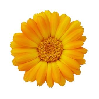 Flor de calêndula isolada em um close da superfície branca de uma planta fotografada de cima tem propriedades curativas