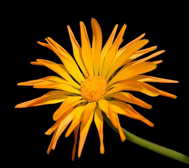Flor de calêndula isolado