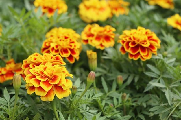 Flor de calêndula no jardim