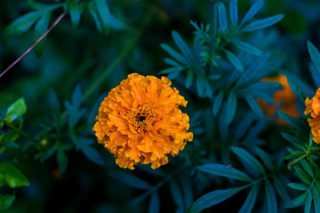 Flor de calêndula Foto Premium