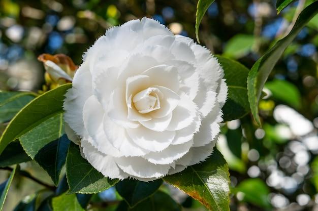 Flor de camélia branca