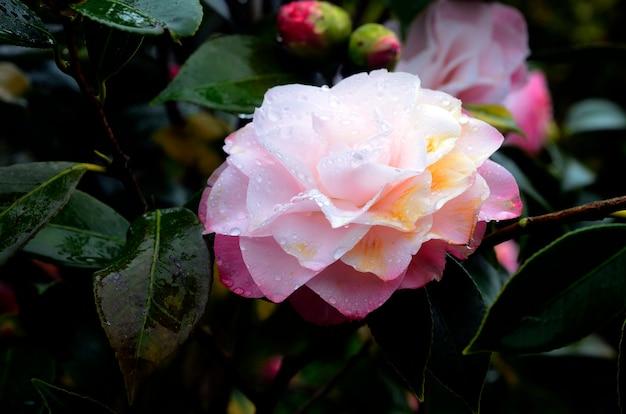Flor de camélia (camellia sinensis), nativa do leste asiático e cultivada como ornamental por sua beleza