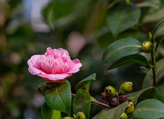 Flor de camélia com luz da manhã