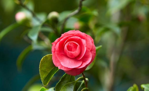Flor de camélia em um jardim verde