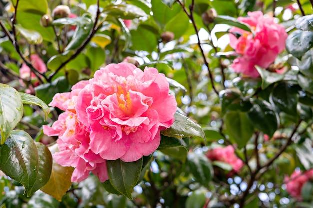 Flor de camélia rosa na árvore com gotas de orvalho.