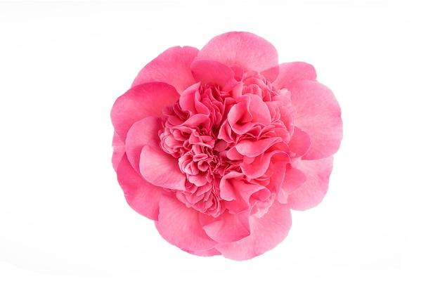 Flor de camélia rosa totalmente desabrochada, isolada na superfície branca