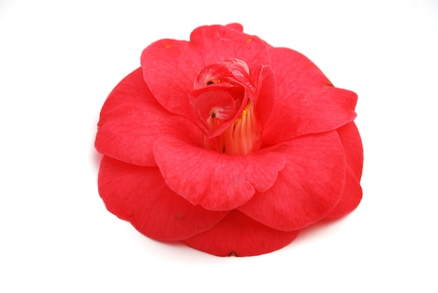 Flor de camélia rosa