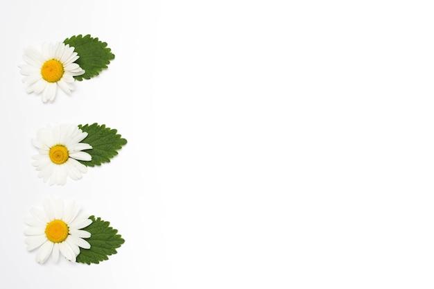 Flor de camomila branca com folhas em uma linha na superfície branca