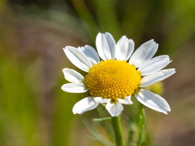 Flor de camomila em fundo verde turva. flores de feltro