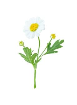 Flor de camomila isolada em fundo branco