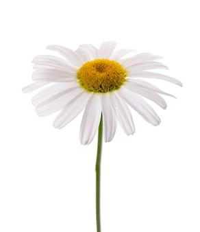 Flor de camomila isolada no fundo branco. planta medicinal à base de plantas.
