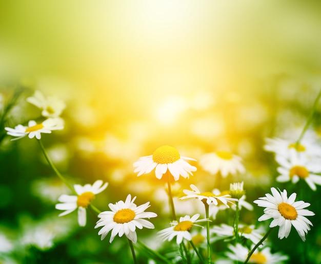 Flor de camomila na natureza
