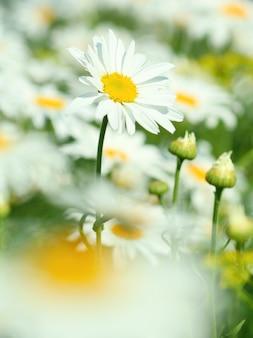 Flor de camomila