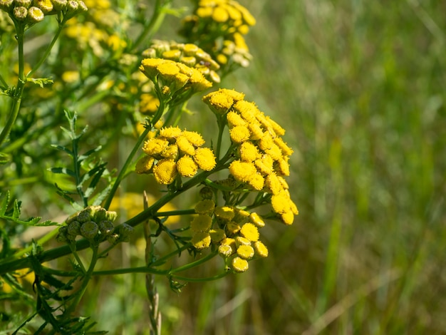 Flor de campo amarelo tansy comum. foco seletivo, fundo desfocado