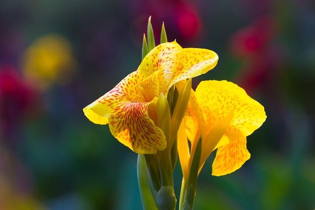 Flor de canna indica ou indian shoot no jardim com um belo fundo suave e bonito