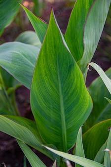 Flor de cannes (lat cannes) no sol no jardim do verão. folhas verdes tropicais, close-up.