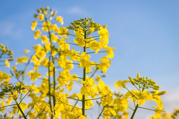 Flor de canola amarela no verão