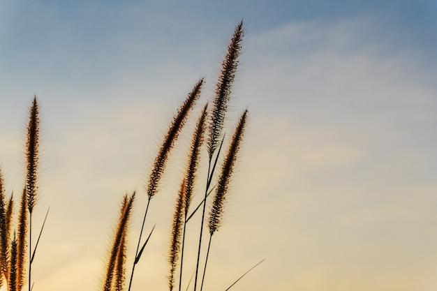 Flor de capim com cor do pôr do sol do céu