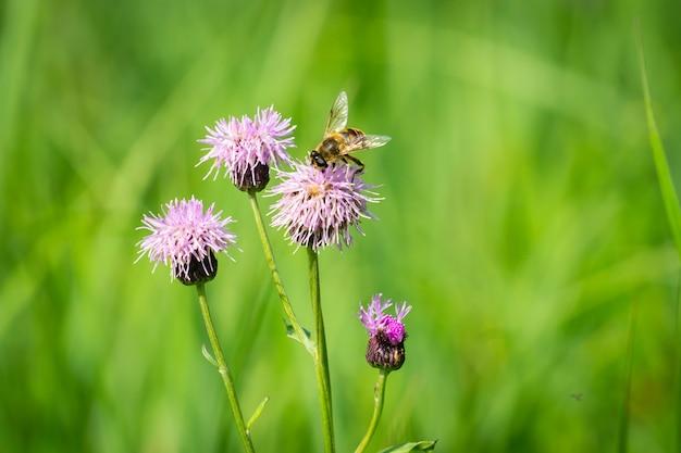 Flor de cardo com abelha comendo néctar