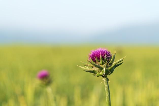 Flor de cardo em campo verde