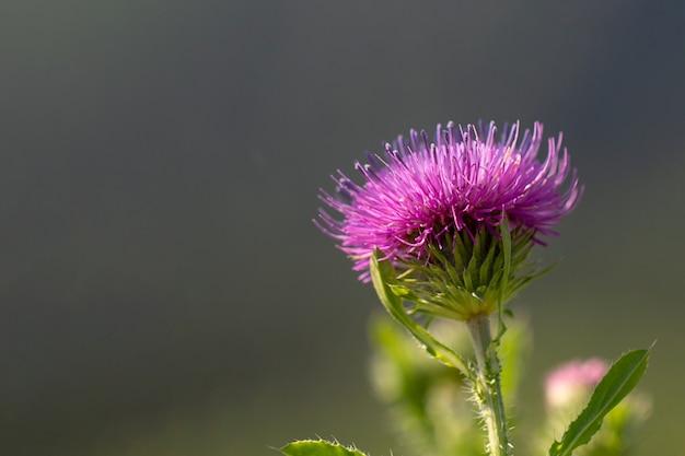 Flor de cardo espinhoso rosa carduus em um fundo natural natural o pôster