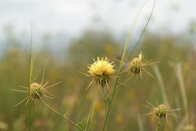 Flor de cardo seca de perto