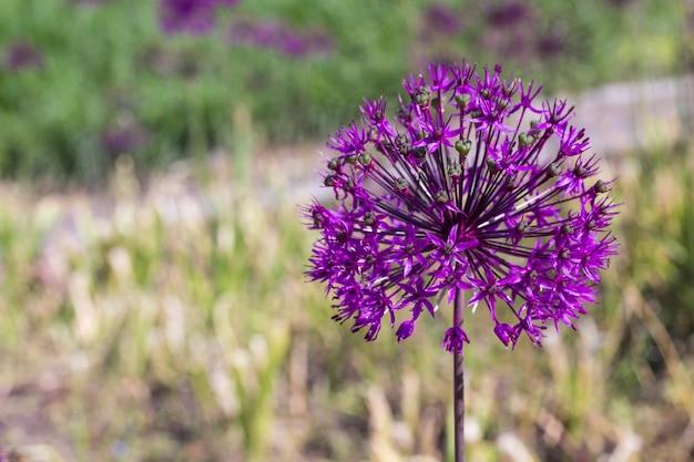 Flor de cebola roxa. flor de alho. copie o espaço. fundo natural