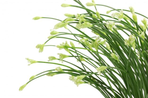 Flor de cebolinha ou cebolinho chinês isolado no fundo branco