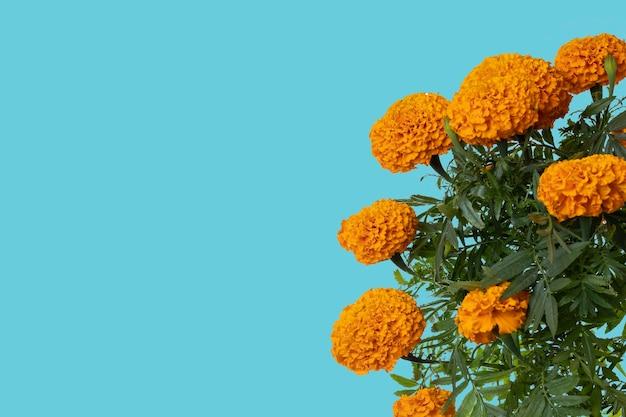 Flor de cempasuchil com espaço para texto na parte superior e fundo azul