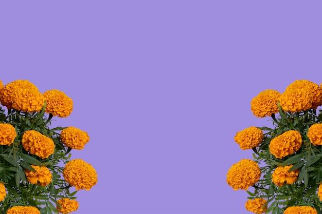 Flor de cempasuchil com espaço para texto na parte superior e fundo roxo