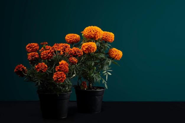 Flor de cempasuchil em macetas para o dia de muertos no méxico