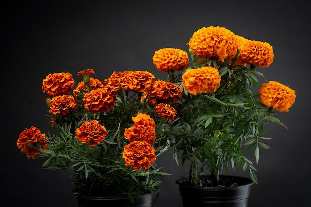 Flor de cempasuchil usada em dia de muertos tradicion mexicana