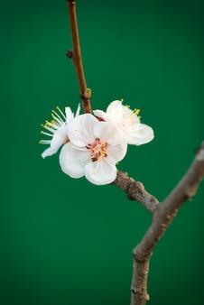 Flor de cereja de primavera isolada em verde