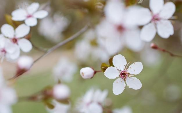 Flor de cereja flor branco em natureza borrada defocusada