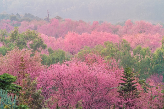 Flor de cereja selvagem do himalaia com nevoeiro na tailândia