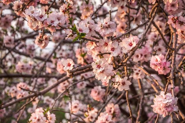 Flor de cerejeira, árvore de sakura florescendo, flores cor de rosa